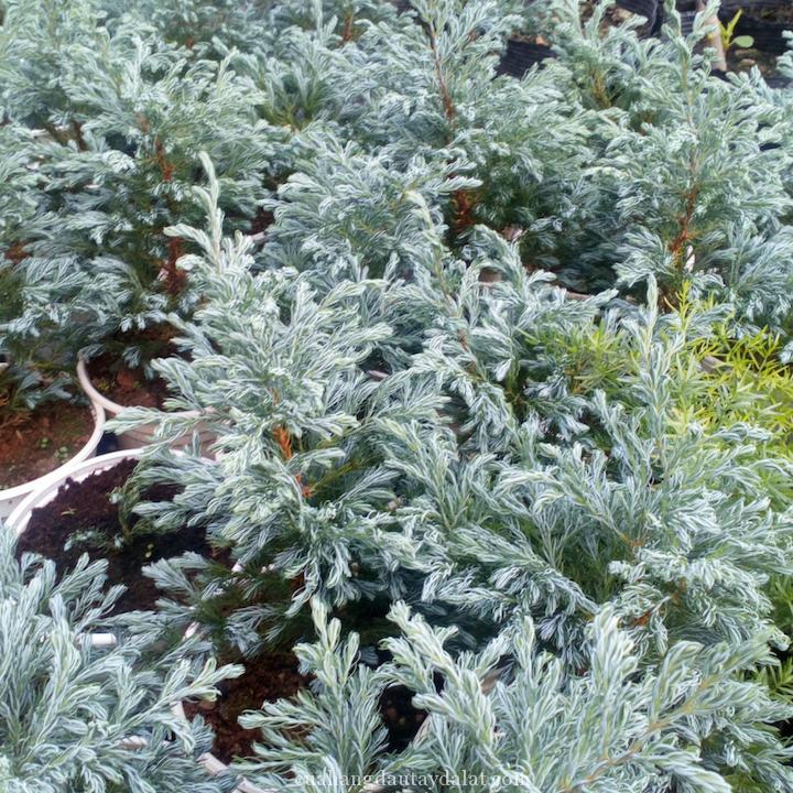 Cây tuyết tùng phong thủy tiểu bonsai đẹp và lạ